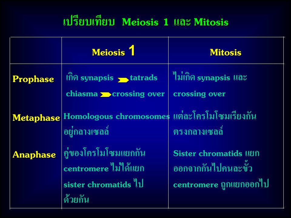 เปรียบเทียบ Meiosis 1 และ Mitosis Meiosis 1 Mitosis Prophase Metaphase Anaphase Homologous chromosomes อยู่กลางเซลล์ คู่ของโครโมโซมแยกกัน centromere ไม่ได้แยก sister chromatids ไป ด้วยกัน ไม่เกิด synapsis และ crossing over แต่ละโครโมโซมเรียงกัน ตรงกลางเซลล์ Sister chromatids แยก ออกจากกันไปคนละขั้ว centromere ถูกแยกออกไป เกิด synapsis tatrads chiasma crossing over