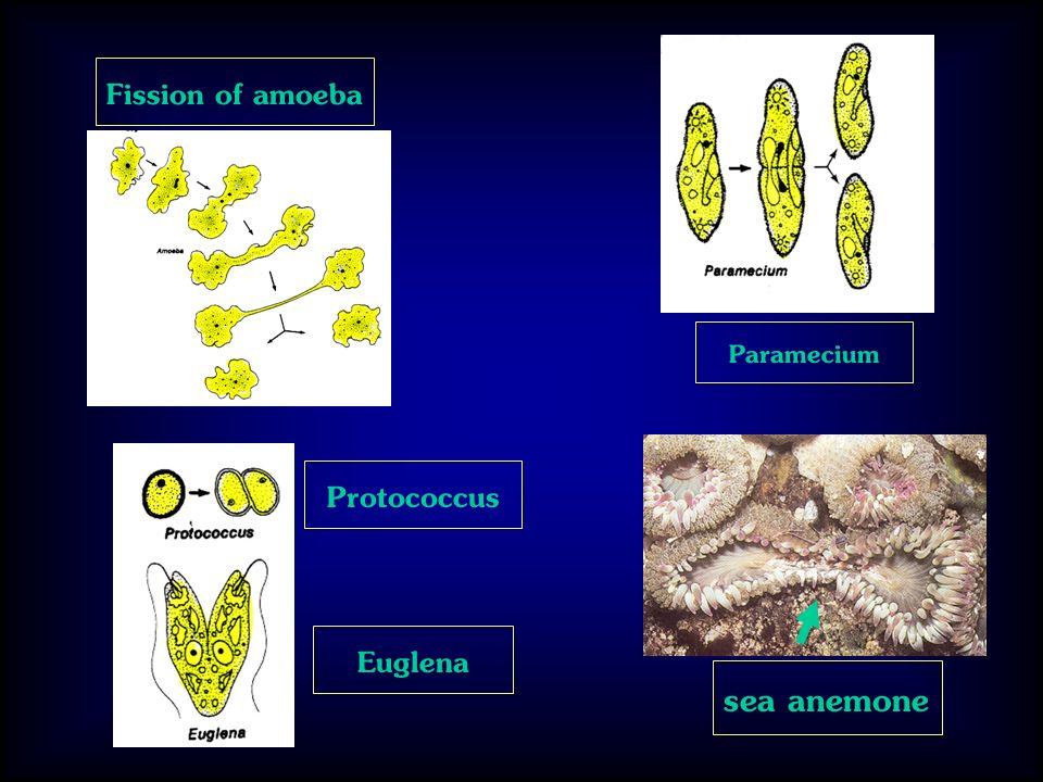 Fission of amoeba Paramecium Protococcus Euglena sea anemone