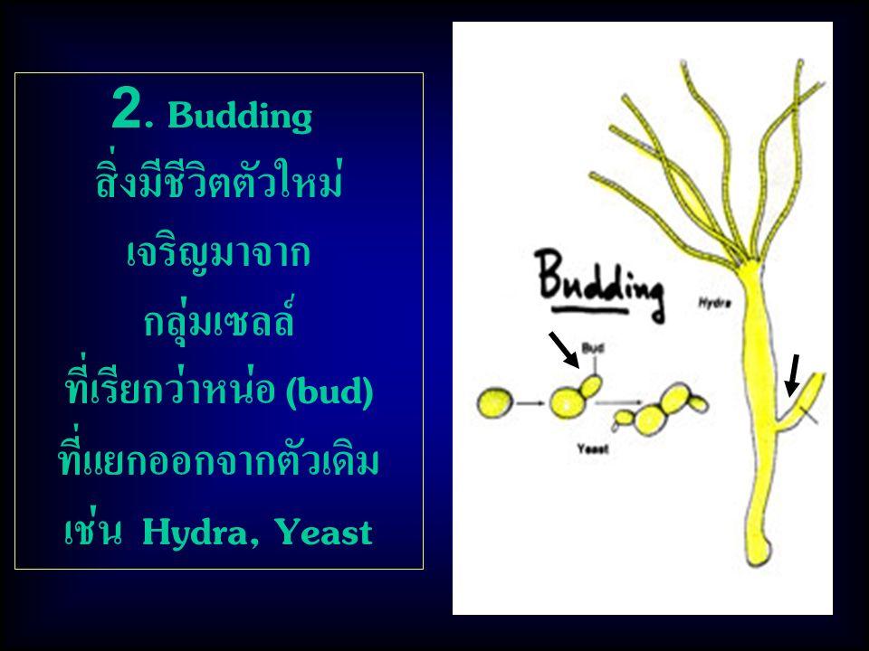 2. Budding สิ่งมีชีวิตตัวใหม่ เจริญมาจาก กลุ่มเซลล์ ที่เรียกว่าหน่อ (bud) ที่แยกออกจากตัวเดิม เช่น Hydra, Yeast
