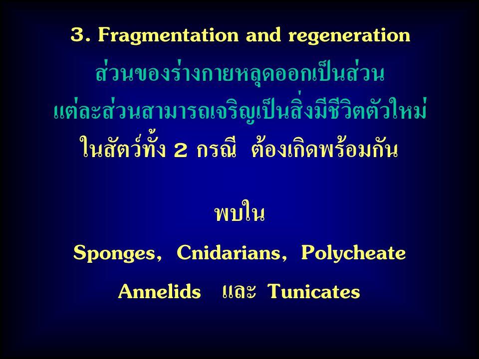 พบใน Sponges, Cnidarians, Polycheate Annelids และ Tunicates 3. Fragmentation and regeneration ส่วนของร่างกายหลุดออกเป็นส่วน แต่ละส่วนสามารถเจริญเป็นสิ
