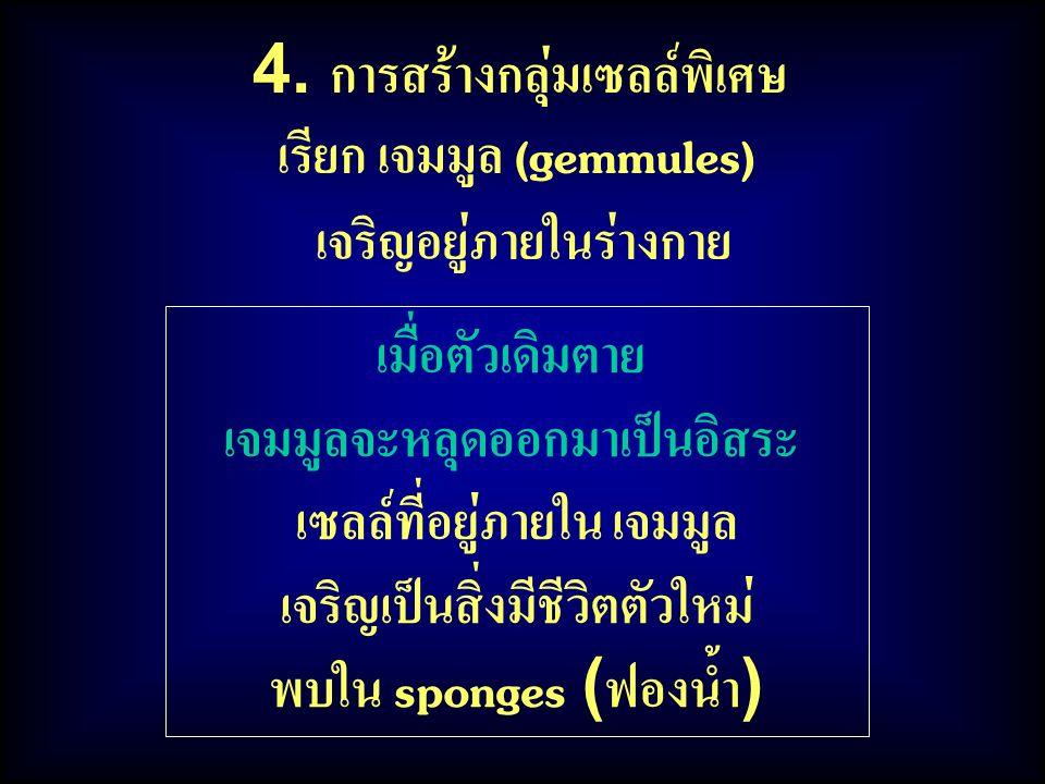 เมื่อตัวเดิมตาย เจมมูลจะหลุดออกมาเป็นอิสระ เซลล์ที่อยู่ภายใน เจมมูล เจริญเป็นสิ่งมีชีวิตตัวใหม่ พบใน sponges (ฟองน้ำ) 4.