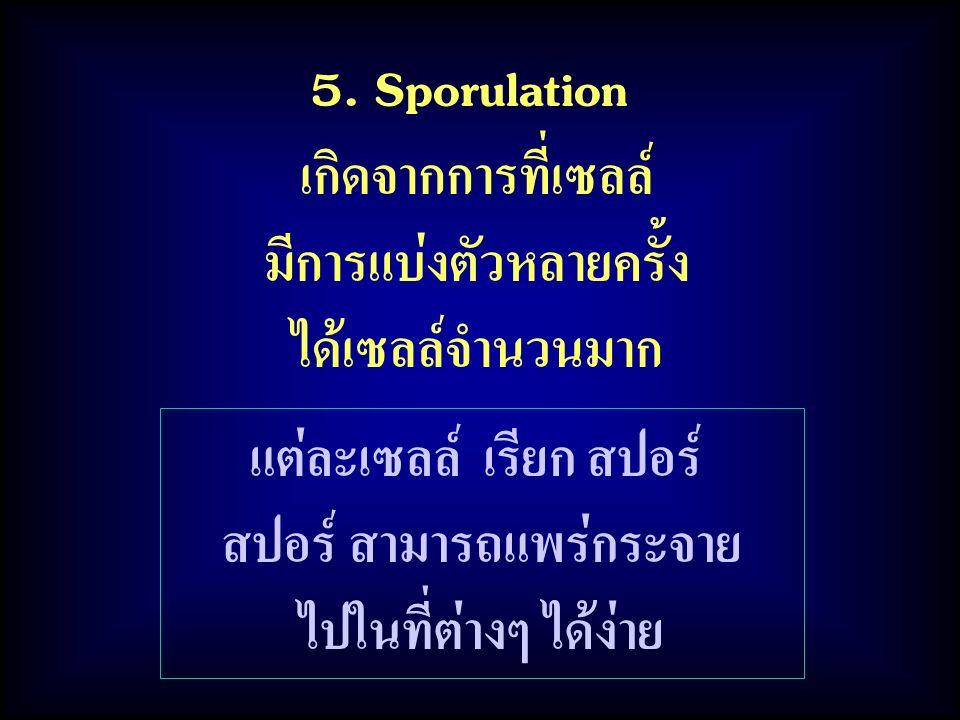แต่ละเซลล์ เรียก สปอร์ สปอร์ สามารถแพร่กระจาย ไปในที่ต่างๆ ได้ง่าย 5. Sporulation เกิดจากการที่เซลล์ มีการแบ่งตัวหลายครั้ง ได้เซลล์จำนวนมาก