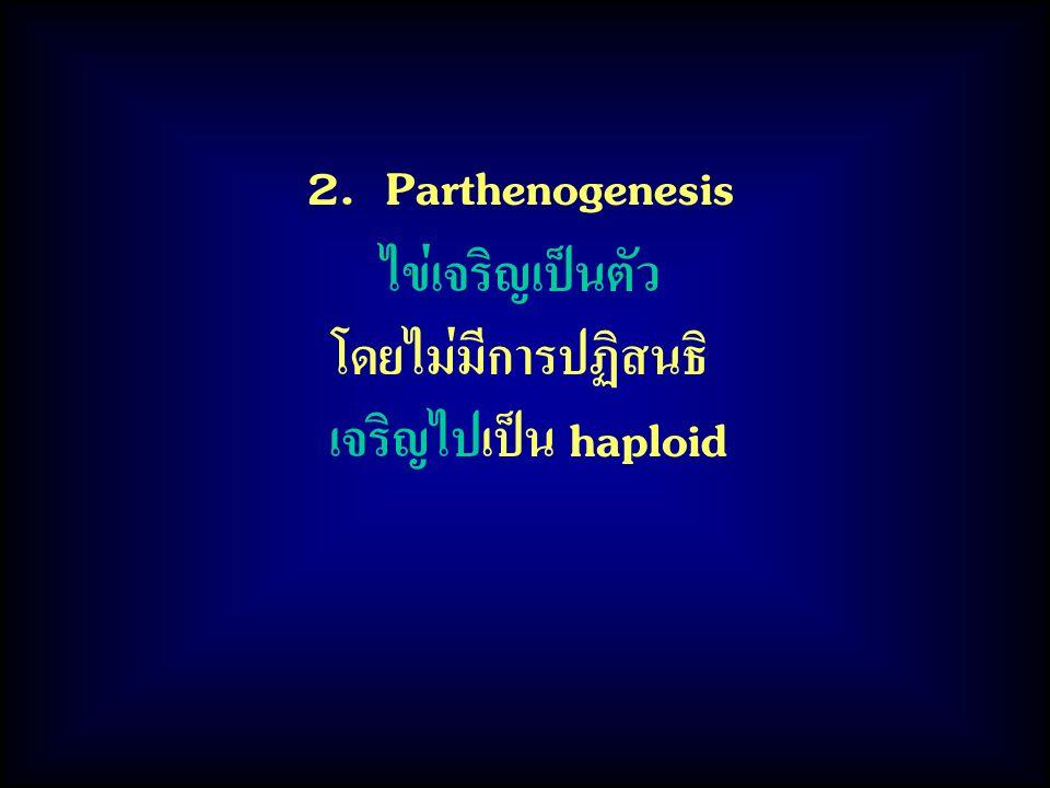 2. Parthenogenesis ไข่เจริญเป็นตัว โดยไม่มีการปฏิสนธิ เจริญไปเป็น haploid