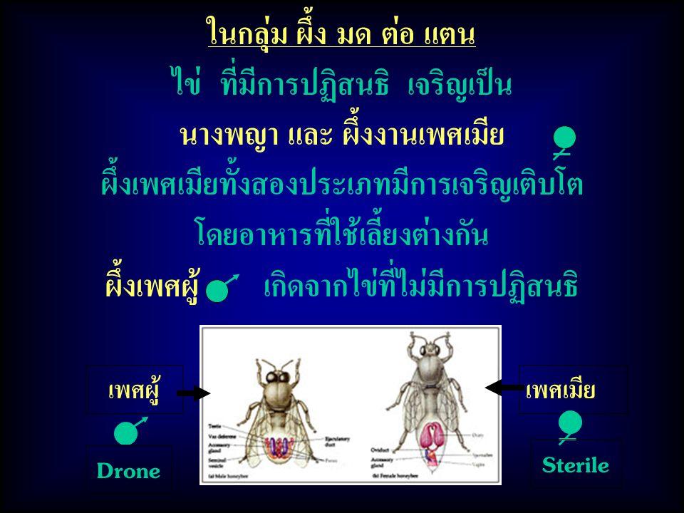 ในกลุ่ม ผึ้ง มด ต่อ แตน ไข่ ที่มีการปฏิสนธิ เจริญเป็น นางพญา และ ผึ้งงานเพศเมีย ผึ้งเพศเมียทั้งสองประเภทมีการเจริญเติบโต โดยอาหารที่ใช้เลี้ยงต่างกัน ผึ้งเพศผู้ เกิดจากไข่ที่ไม่มีการปฏิสนธิ เพศผู้เพศเมีย Drone Sterile