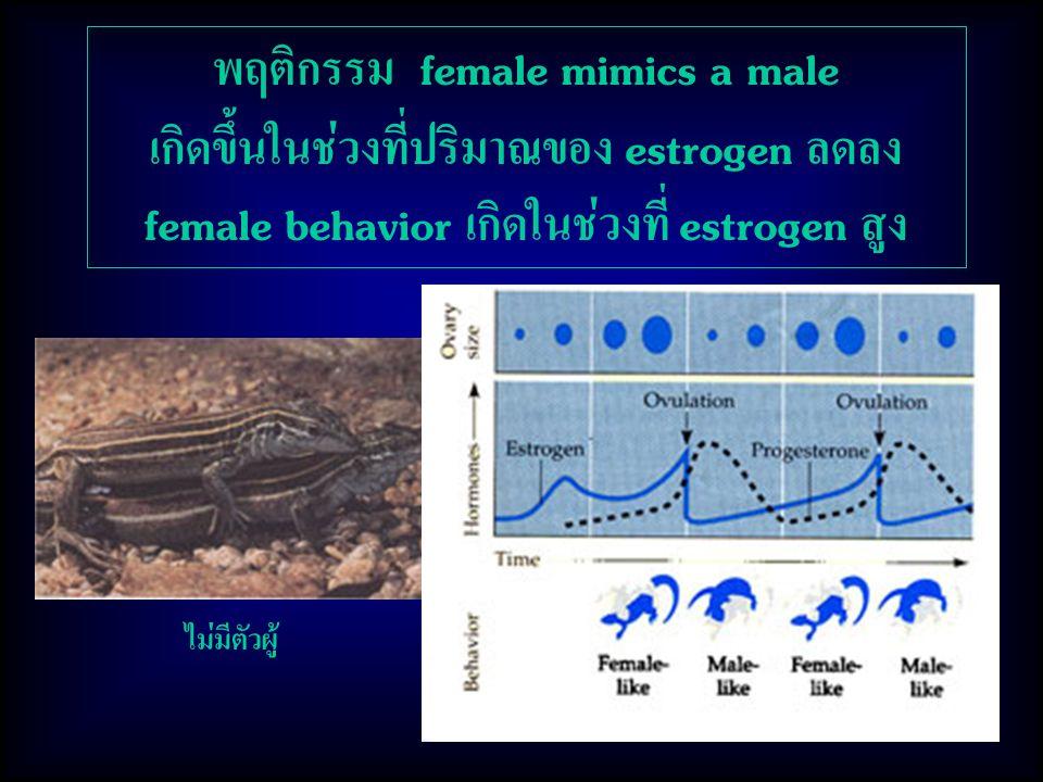 พฤติกรรม female mimics a male เกิดขึ้นในช่วงที่ปริมาณของ estrogen ลดลง female behavior เกิดในช่วงที่ estrogen สูง ไม่มีตัวผู้