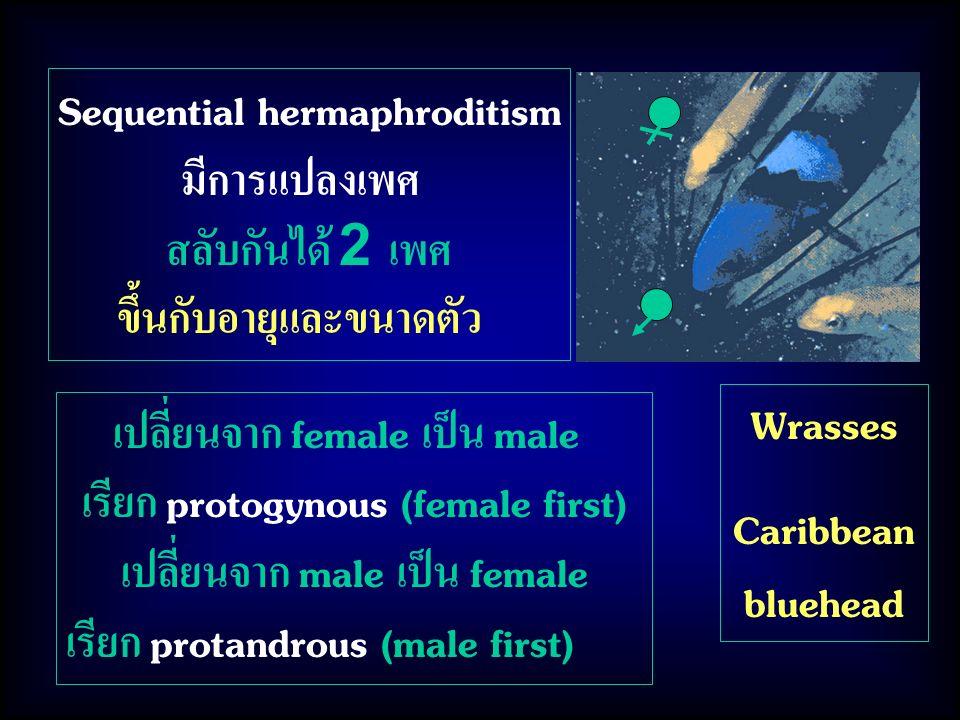 เปลี่ยนจาก female เป็น male เรียก protogynous (female first) เปลี่ยนจาก male เป็น female เรียก protandrous (male first) Sequential hermaphroditism มีการแปลงเพศ สลับกันได้ 2 เพศ ขึ้นกับอายุและขนาดตัว Wrasses Caribbean bluehead