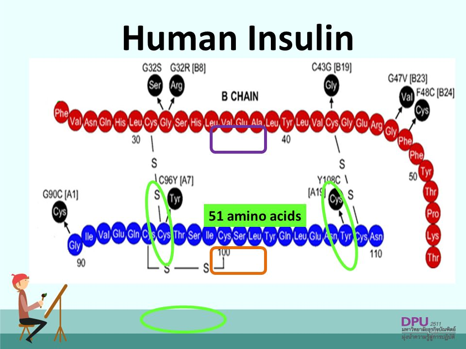 59 Human Insulin 51 amino acids