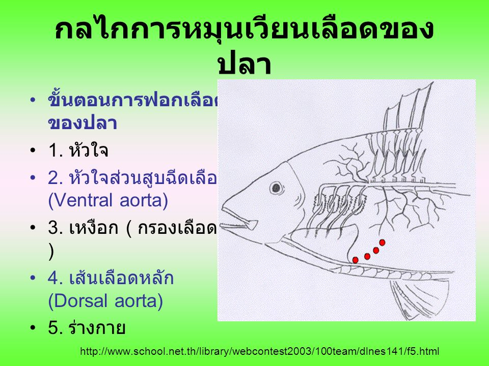 กลไกการหมุนเวียนเลือดของ ปลา ขั้นตอนการฟอกเลือด ของปลา 1. หัวใจ 2. หัวใจส่วนสูบฉีดเลือด (Ventral aorta) 3. เหงือก ( กรองเลือด ) 4. เส้นเลือดหลัก (Dors
