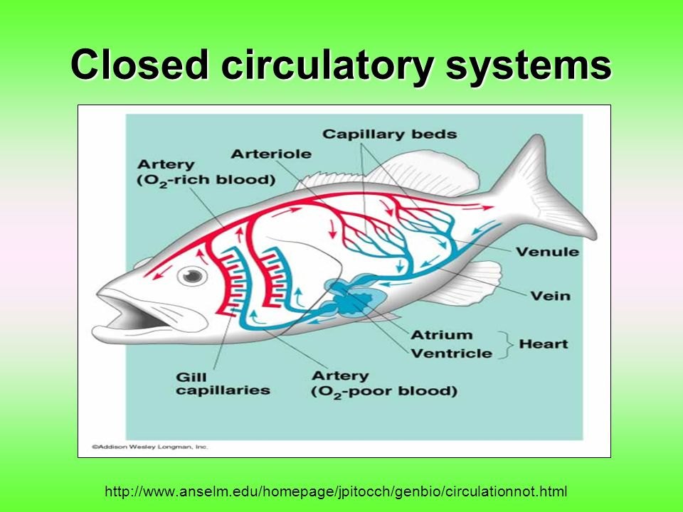 Closed circulatory systems http://www.anselm.edu/homepage/jpitocch/genbio/circulationnot.html