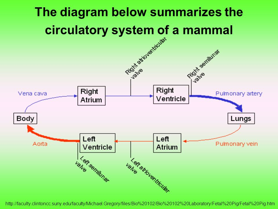 The diagram below summarizes the circulatory system of a mammal http://faculty.clintoncc.suny.edu/faculty/Michael.Gregory/files/Bio%20102/Bio%20102%20Laboratory/Fetal%20Pig/Fetal%20Pig.htm