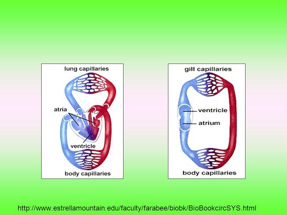 http://www.estrellamountain.edu/faculty/farabee/biobk/BioBookcircSYS.html