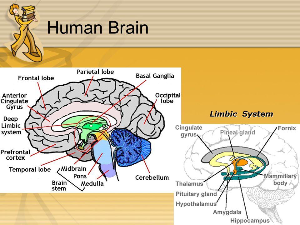 Human Brain Limbic System