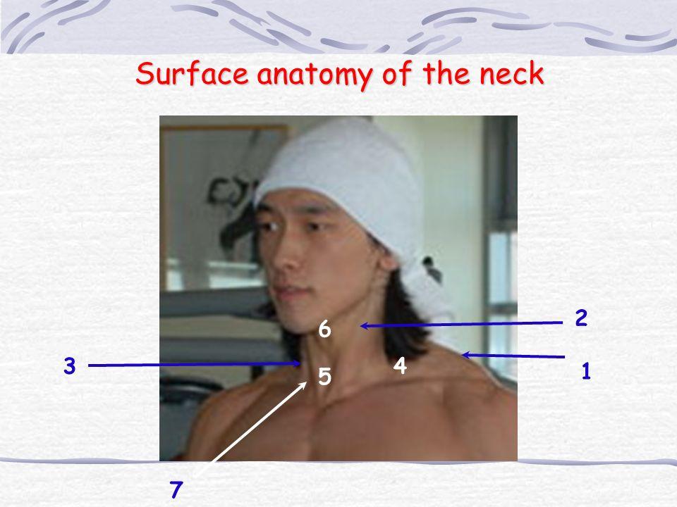 1 = Trapezius 2 = Sternocleidomastoid m.(Sternal head) 3 = Sternocleidomastoid m.(clavicular head) 4 = Greater Supraclavicular fossa 5 = Suprasternal fossa (jugular notch) 6 = Laryngeal prominence (Adam ' s apple) 7 = Lesser Supraclavicular fossa