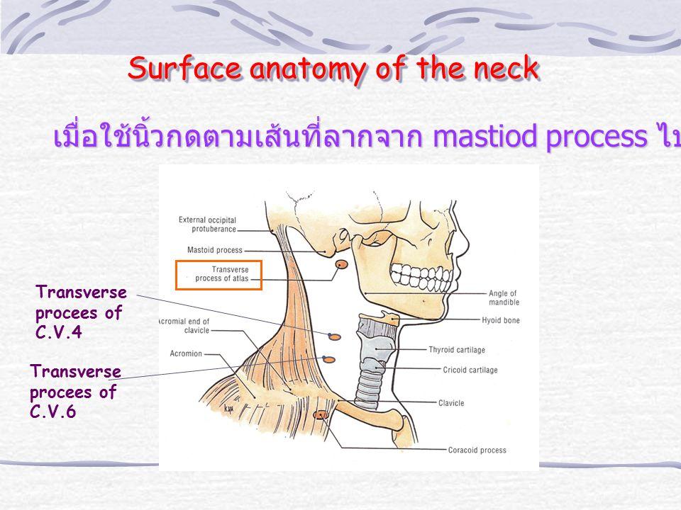 Surface anatomy of the neck Transverse procees of C.V.4 Transverse procees of C.V.6 เมื่อใช้นิ้วกดตามเส้นที่ลากจาก mastiod process ไปยังหัวไหล่จะพบ