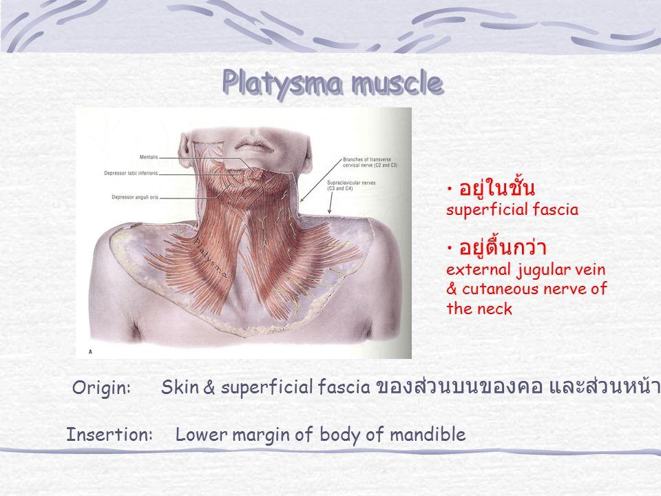 Platysma muscle fibers แบ่งเป็น 3 กลุ่ม -anterior - middle - posterior