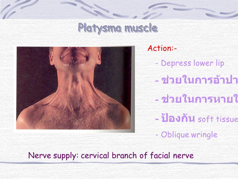 Platysma muscle Action:- - Depress lower lip - ช่วยในการอ้าปาก - ช่วยในการหายใจเข้า - ป้องกัน soft tissue - Oblique wringle Nerve supply: cervical branch of facial nerve