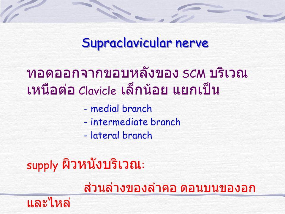 ทอดออกจากขอบหลังของ SCM บริเวณ เหนือต่อ Clavicle เล็กน้อย แยกเป็น - medial branch - intermediate branch - lateral branch supply ผิวหนังบริเวณ : ส่วนล่างของลำคอ ตอนบนของอก และไหล่ Supraclavicular nerve