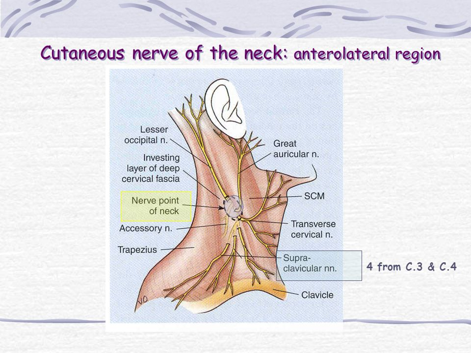 Cutaneous nerve of the neck: anterolateral region 4 from C.3 & C.4