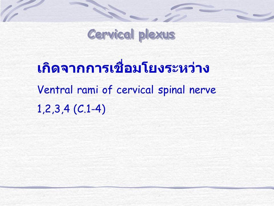 Cervical plexus เกิดจากการเชื่อมโยงระหว่าง Ventral rami of cervical spinal nerve 1,2,3,4 (C.1-4)