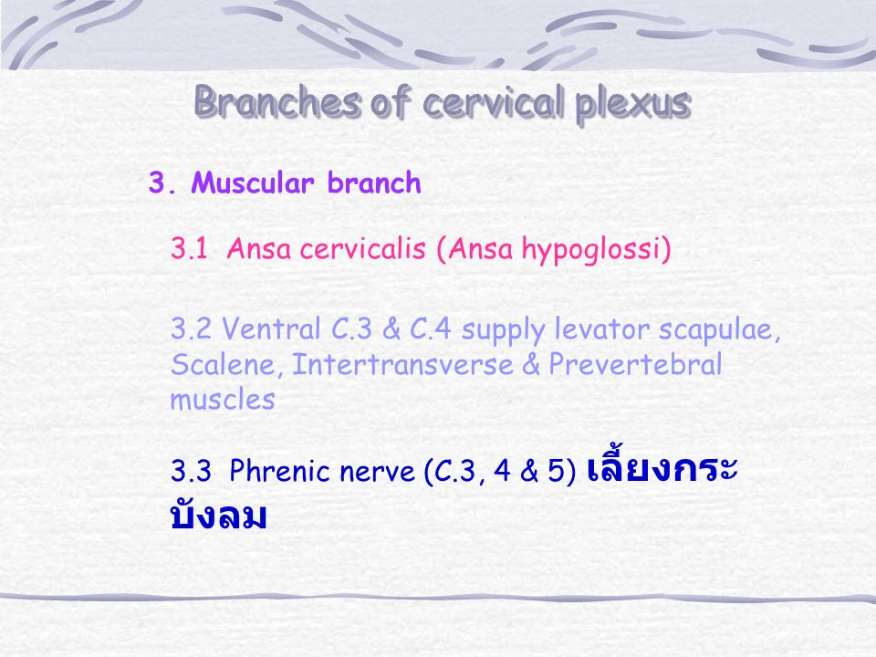 Branches of cervical plexus 3.