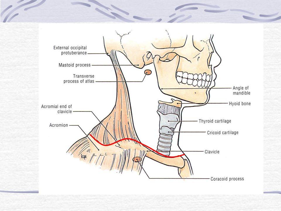 The Cervical Skeleton - Visceral Unit - Vertebral Unit