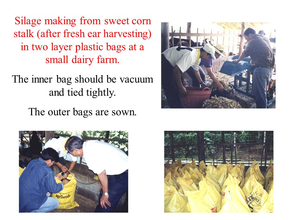 Silage making from sweet corn stalk (after fresh ear harvesting) in two layer plastic bags at a small dairy farm. The inner bag should be vacuum and t