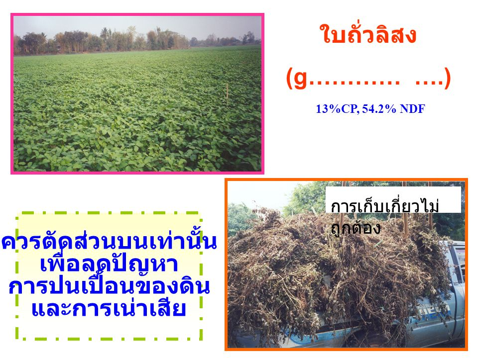 ใบถั่วลิสง (g………… ….) 13%CP, 54.2% NDF ควรตัดส่วนบนเท่านั้น เพื่อลดปัญหา การปนเปื้อนของดิน และการเน่าเสีย การเก็บเกี่ยวไม่ ถูกต้อง