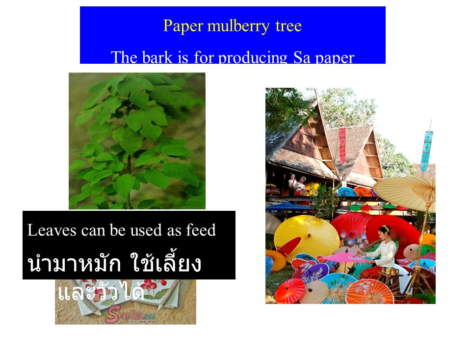 Paper mulberry tree The bark is for producing Sa paper Leaves can be used as feed นำมาหมัก ใช้เลี้ยง หมูและวัวได้