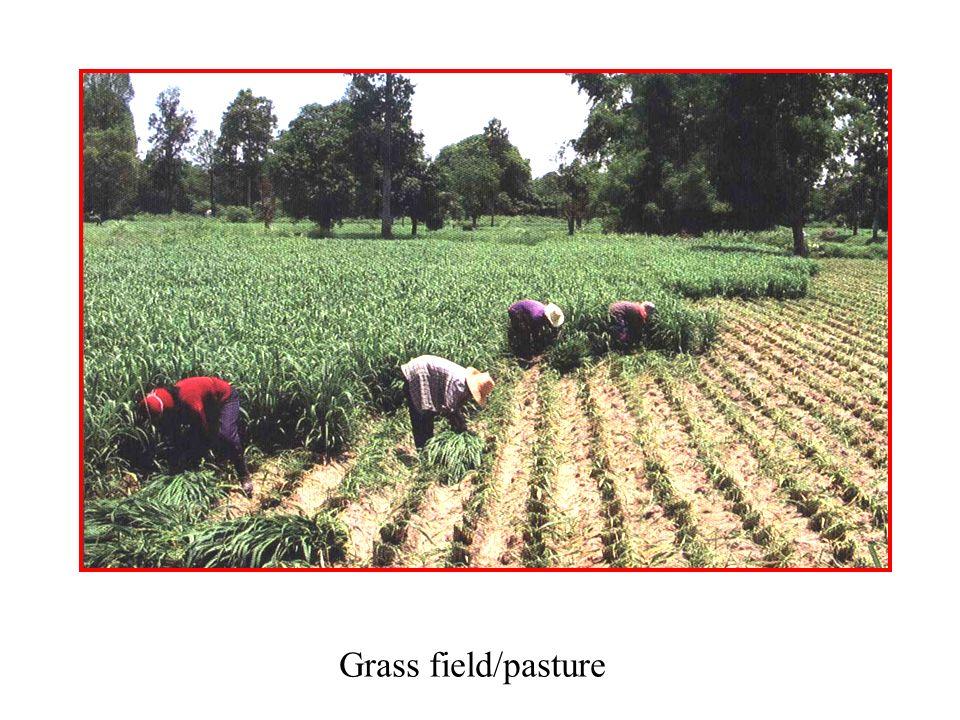Grass field/pasture