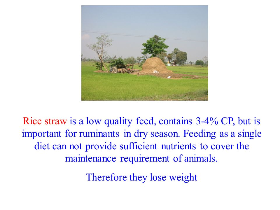Rice straw is a low quality feed, contains 3-4% CP, but is important for ruminants in dry season. Feeding as a single diet can not provide sufficient