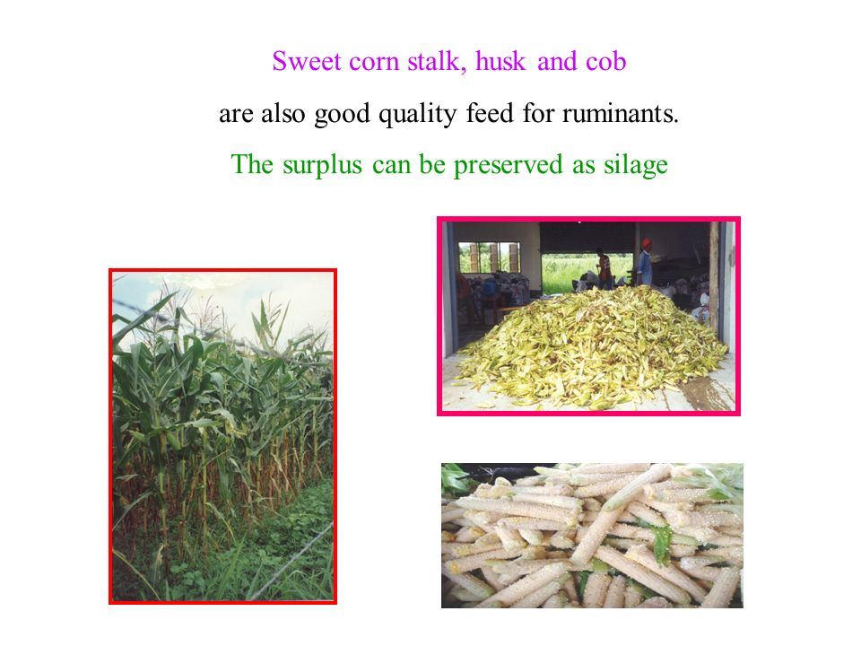 Sweet corn stalk, husk and cob are also good quality feed for ruminants. The surplus can be preserved as silage