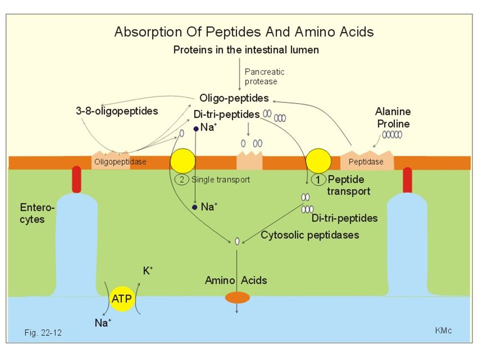 Oxidation of Protein Transmination; นำไนโตรเจนออกจากกรดอะมิโนไปให้กับ alpha-keto acid ด้วย เอ็นไซม์ Transminase หรือ aminotransferase Deamination; เปลี่ยน alpha-keto acid ให้เป็น แอมโมเนียเสรี กลายเป็น alanine และ glutamate ไปยังตับและไต เพื่อไปสลายเป็น ยูเรียที่ตับและ แอมโนเนียที่ไต โครงสร้าง C ที่เหลือจะถูกนำไปสร้าง เป็นพลังงานต่อไป