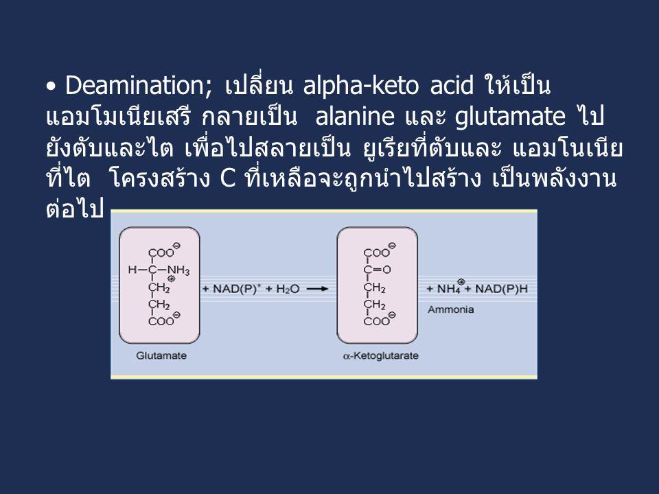Deamination; เปลี่ยน alpha-keto acid ให้เป็น แอมโมเนียเสรี กลายเป็น alanine และ glutamate ไป ยังตับและไต เพื่อไปสลายเป็น ยูเรียที่ตับและ แอมโนเนีย ที่ไต โครงสร้าง C ที่เหลือจะถูกนำไปสร้าง เป็นพลังงาน ต่อไป