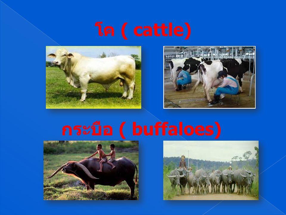 โค ( cattle) กระบือ ( buffaloes)