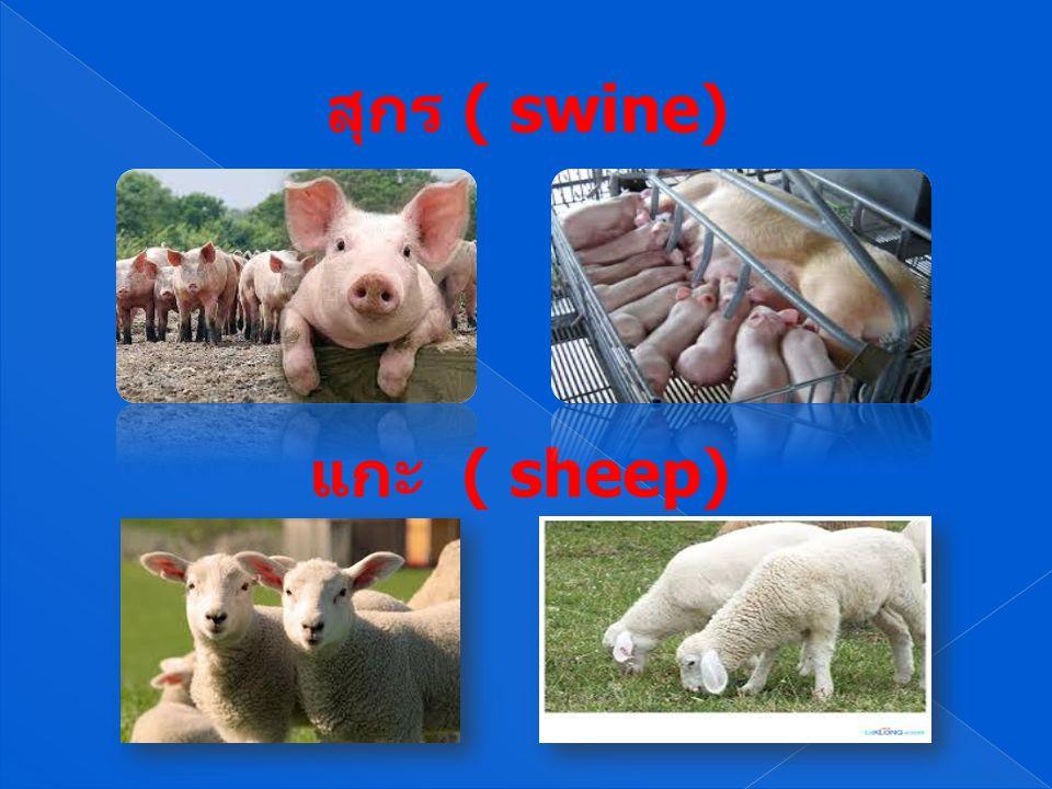 สุกร ( swine) แกะ ( sheep)