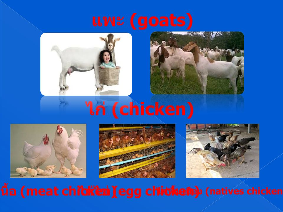 แพะ (goats) ไก่ (chicken) ไก่เนื้อ (meat chicken) ไก่พื้นเมือง (natives chicken) ไก่ไข่ (egg chicken)