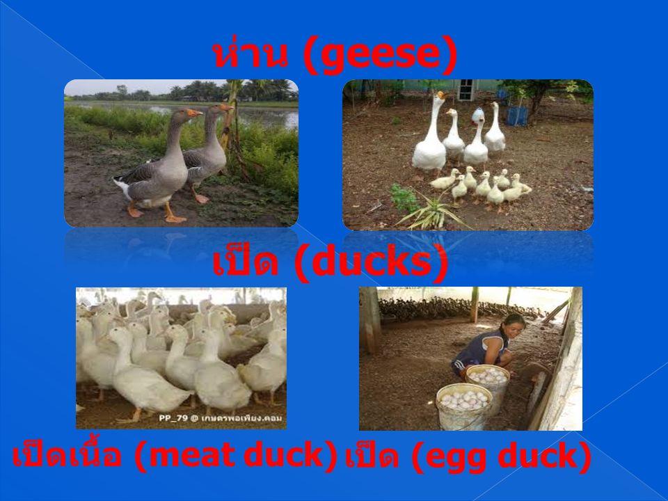 ห่าน (geese) เป็ด (ducks) เป็ด (egg duck) เป็ดเนื้อ (meat duck)