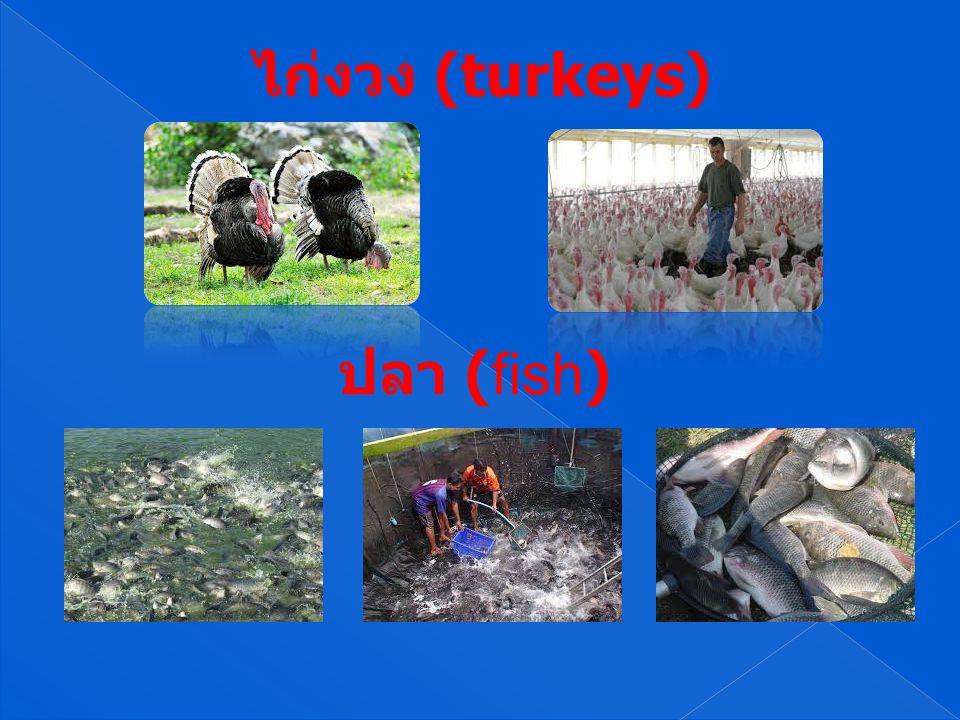 ไก่งวง (turkeys) ปลา (fish)