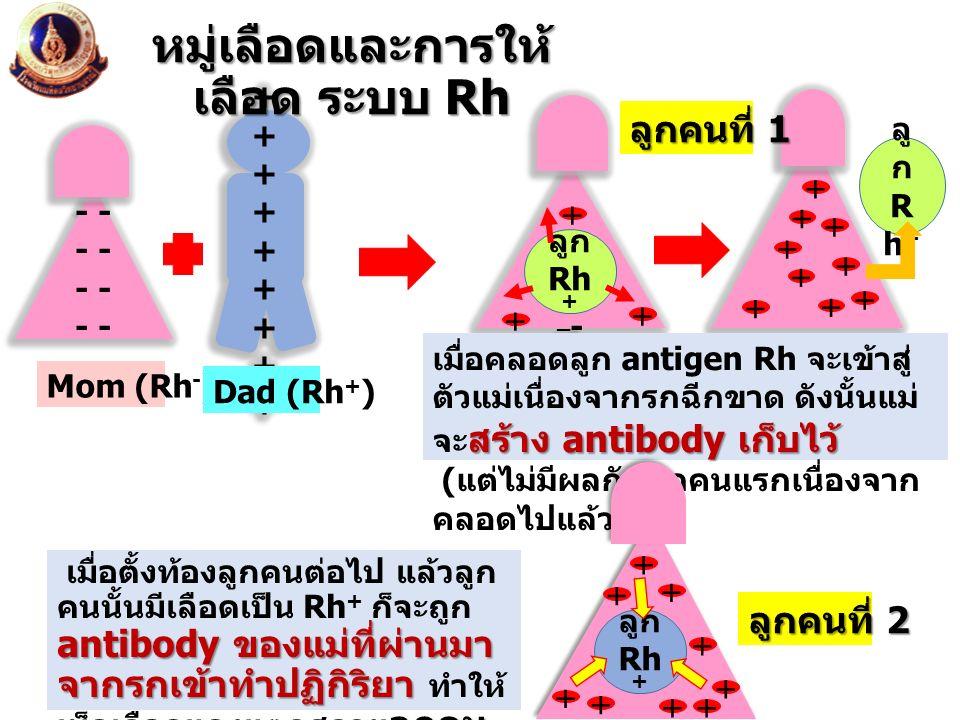 - - - - - - _ - ลู ก R h + สร้าง antibody เก็บไว้ เมื่อคลอดลูก antigen Rh จะเข้าสู่ ตัวแม่เนื่องจากรกฉีกขาด ดังนั้นแม่ จะ สร้าง antibody เก็บไว้ ( แต่
