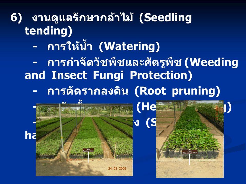 6) งานดูแลรักษากล้าไม้ (Seedling tending) - การให้น้ำ (Watering) - การกำจัดวัชพืชและศัตรูพืช (Weeding and Insect Fungi Protection) - การตัดรากลงดิน (Root pruning) - กาจัดชั้นความสูง (Height grading) - การทำกล้าไม้แกร่ง (Seedling hardening)