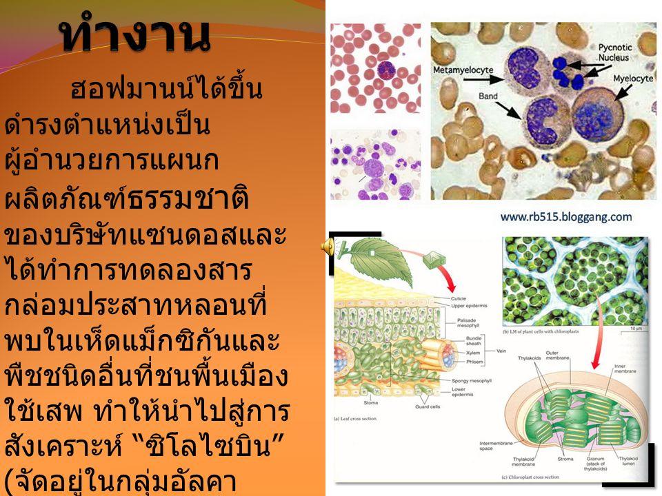 ฮอฟมานน์ได้ขึ้น ดำรงตำแหน่งเป็น ผู้อำนวยการแผนก ผลิตภัณฑ์ ธรรมชาติ ของบริษัทแซนดอสและ ได้ทำการทดลองสาร กล่อมประสาทหลอนที่ พบในเห็ดแม็กซิกันและ พืชชนิดอื่นที่ชนพื้นเมือง ใช้เสพ ทำให้นำไปสู่การ สังเคราะห์ ซิโลไซบิน ( จัดอยู่ในกลุ่มอัลคา ลอยด์ ) ที่เป็น ส่วนประกอบสำคัญของ เห็ดวิเศษ