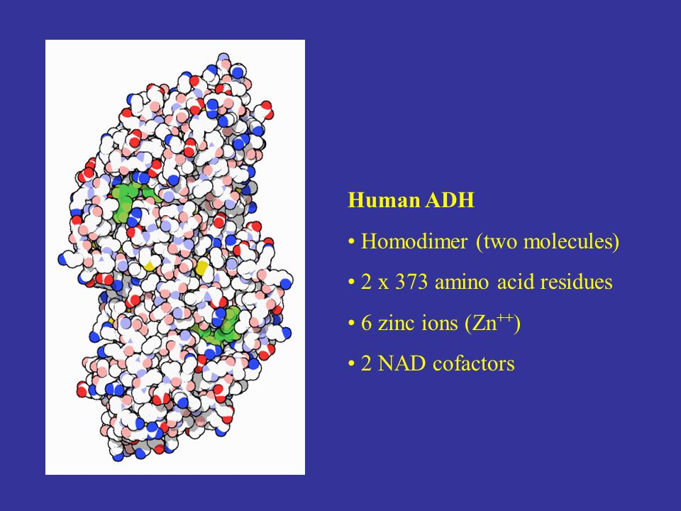 Human ADH Homodimer (two molecules) 2 x 373 amino acid residues 6 zinc ions (Zn ++ ) 2 NAD cofactors