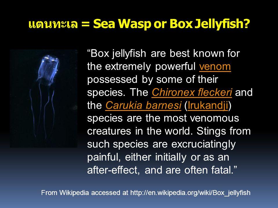 """แตนทะเล = Sea Wasp or Box Jellyfish? """"Box jellyfish are best known for the extremely powerful venom possessed by some of their species. The Chironex f"""