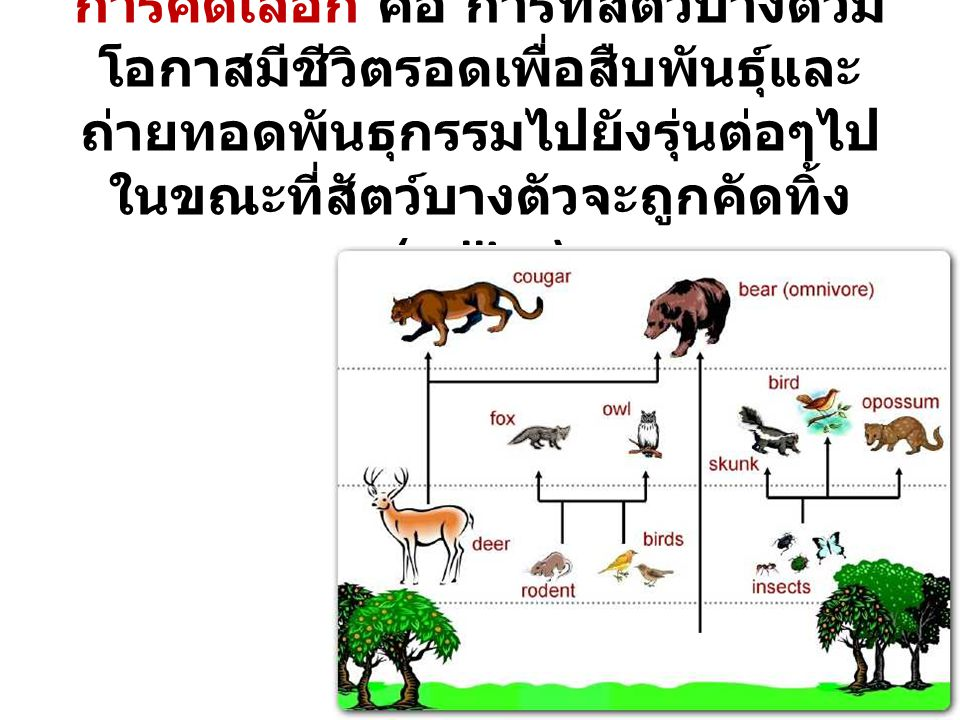 แผนการคัดเลือก 3) Selection Index Pig ADG ( < 4.0) BF ( < 1.2) NBA ( > 9.5) Score (5) 0013.51.084.16 0023.61.3125.63 0033.91.2105.03 Note: ADG = Average Daily Gain BF = Back Fat NBA = Number Born Alive