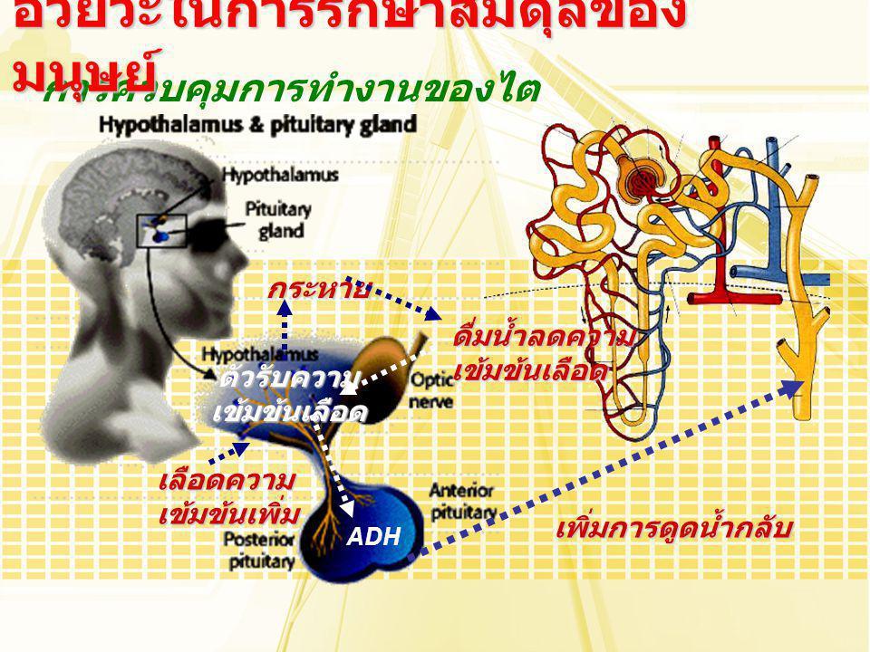 การควบคุมการทำงานของไต อวัยวะในการรักษาสมดุลของ มนุษย์ ADH กระหาย เลือดความเข้มข้นเพิ่ม ดื่มน้ำลดความเข้มข้นเลือด ตัวรับความเข้มข้นเลือด เพิ่มการดูดน้