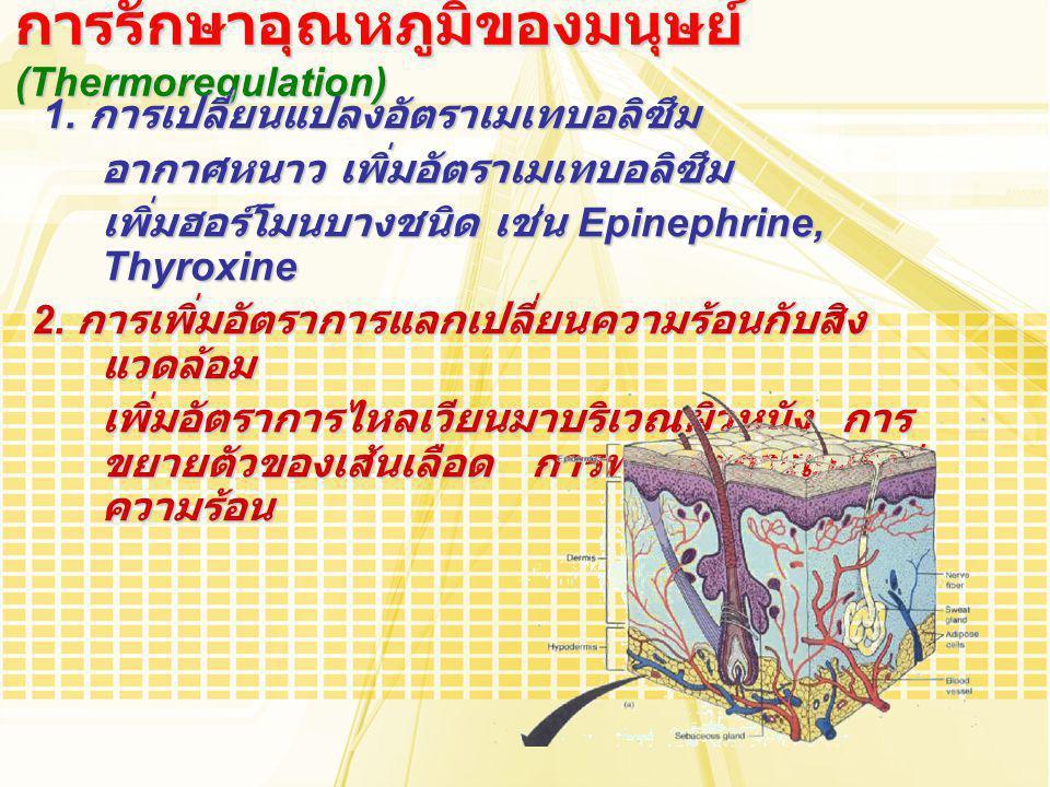การรักษาอุณหภูมิของมนุษย์ (Thermoregulation) 1. การเปลี่ยนแปลงอัตราเมเทบอลิซึม 1. การเปลี่ยนแปลงอัตราเมเทบอลิซึม อากาศหนาว เพิ่มอัตราเมเทบอลิซึม เพิ่ม