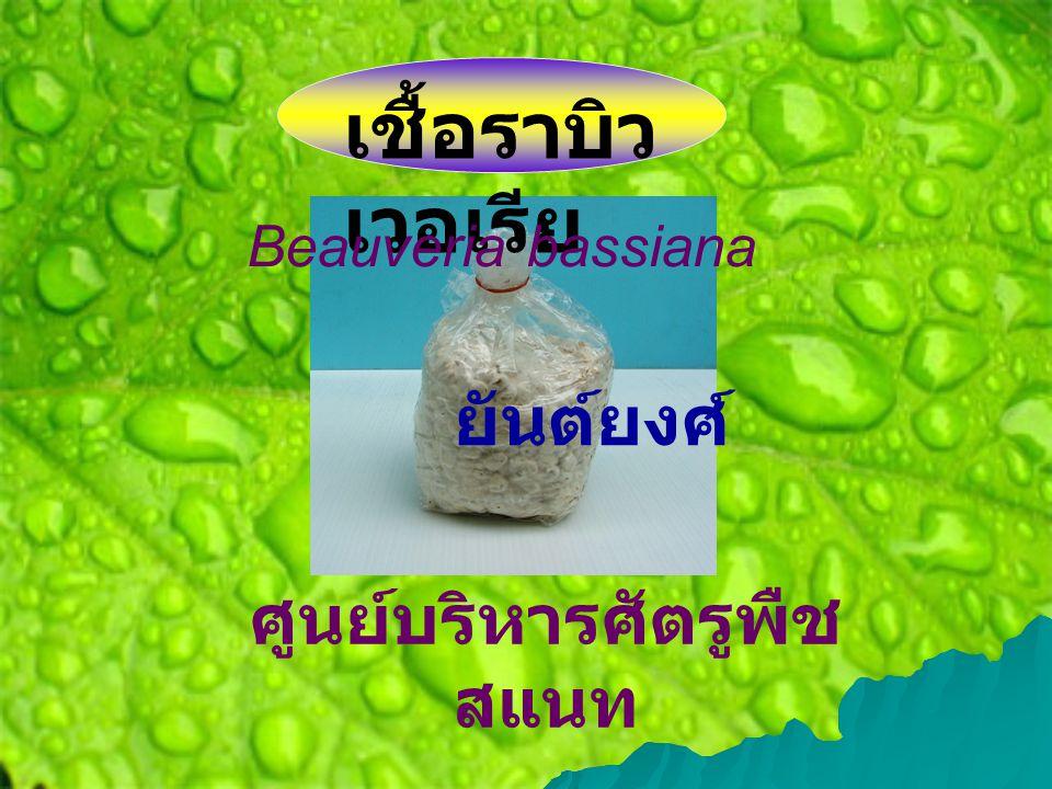 เชื้อราบิว เวอเรีย Beauveria bassiana ยันต์ยงศ์ ศูนย์บริหารศัตรูพืช สแนท