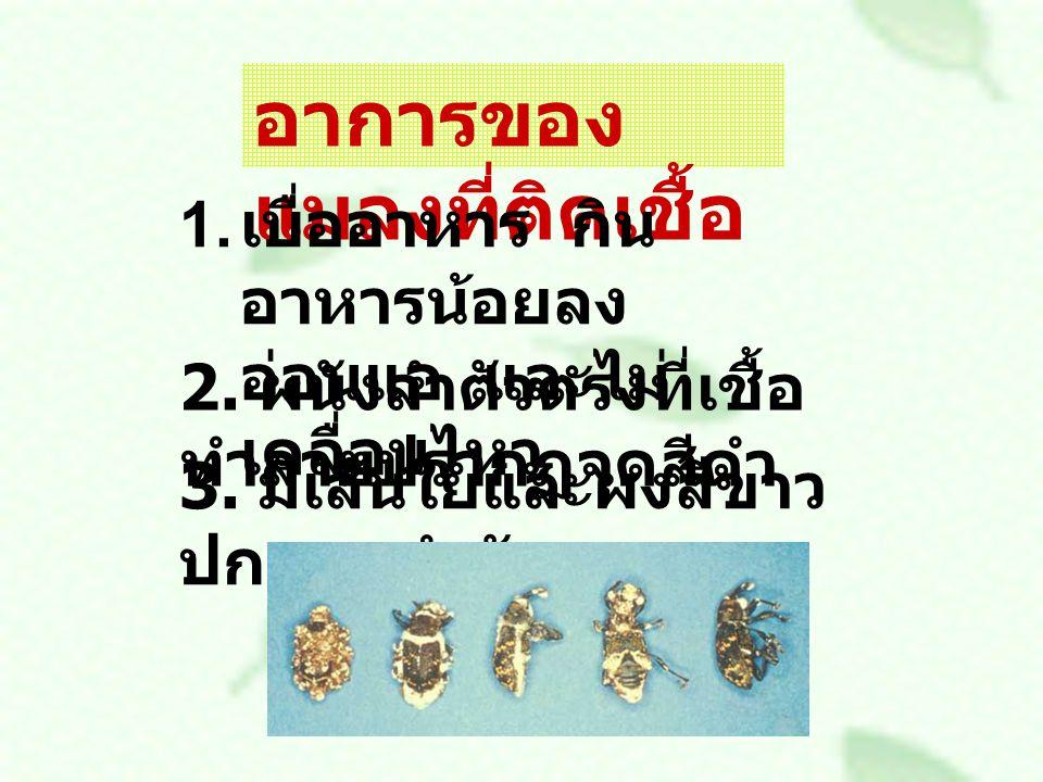 อาการของ แมลงที่ติดเชื้อ 1. เบื่ออาหาร กิน อาหารน้อยลง อ่อนแอ และไม่ เคลื่อนไหว 2. ผนังลำตัวตรงที่เชื้อ ทำลายปรากฏจุดสีดำ 3. มีเส้นใยและผงสีขาว ปกคลุม