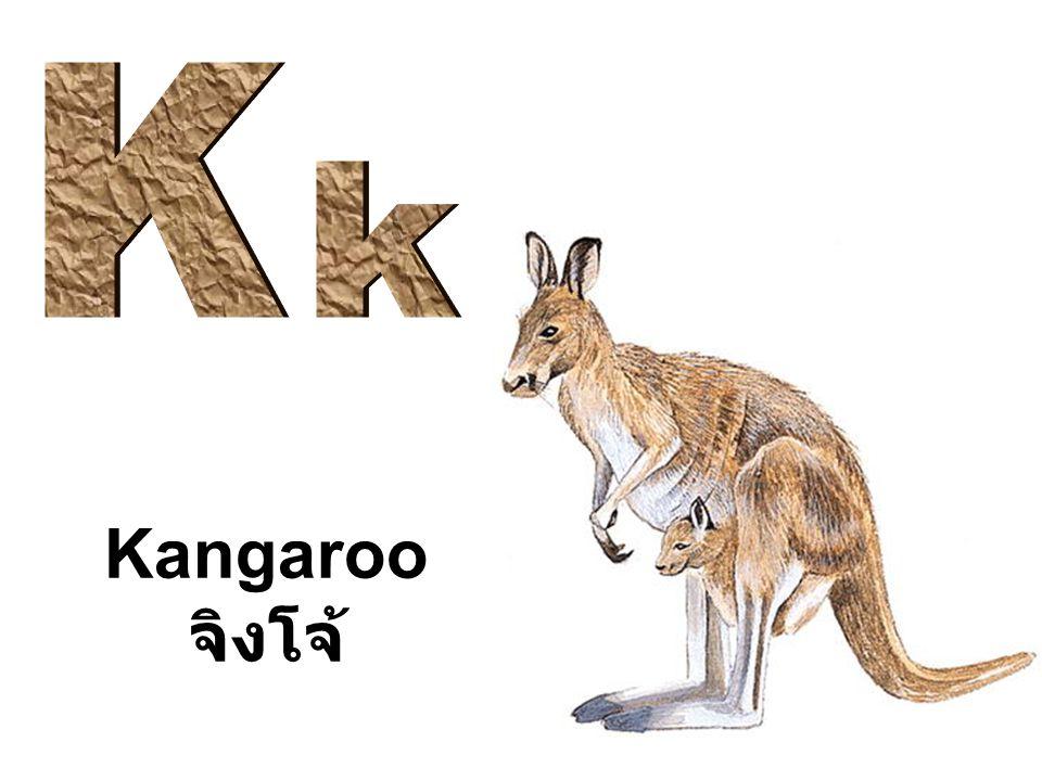 Kangaroo จิงโจ้