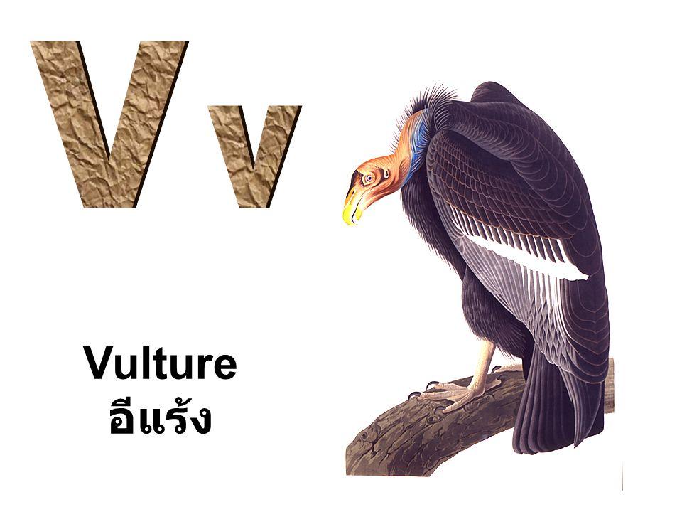 Vulture อีแร้ง